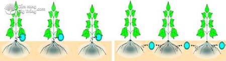 Kiểu tưới nhỏ giọt có ống để trên mặt đất và kiểu tưới nhỏ giọt có ống chôn dưới đất