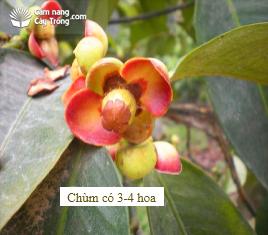 Hoặc thành từng chùm có khoảng 3-4 hoa