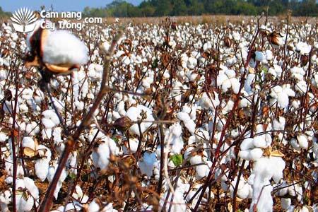 Hạt Bông vải đã xử lý thuốc