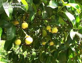 Cây trong thời gian mang quả