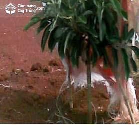 Cây Bơ trồng thẳng đứng