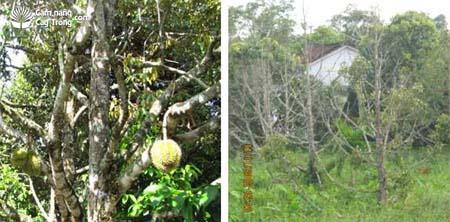 Mưa nhiều, thoát nước không kịp sầu riêng ít quả và sầu riêng bị ngập nước lá rụng, rễ thối đen không có khả năng phục hồi