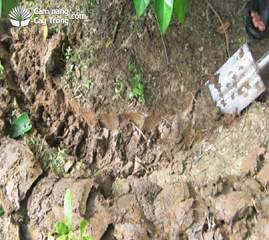 Đào hố quanh tán bón phân hữu cơ