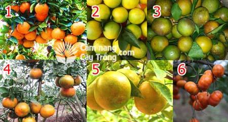 6 Giống cam ngon nhất Việt Nam