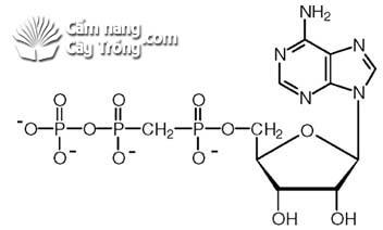 Phốt pho được sử dụng để hình thành các axit nucleic (RNA và DNA)