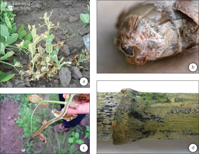 Bệnh do các loài Fusarium gây ra