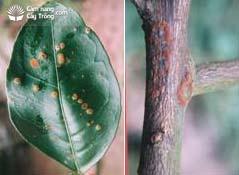 bệnh đốm rong Cephaleuros virescens Kunze
