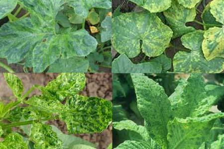 Triệu chứng bệnh khảm trên cây trồng do virus