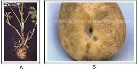 Bệnh lở cỗ rễ khoai tây