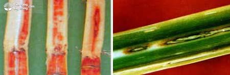 Bệnh thối đỏ, bệnh rượu Collectotrichum falcatum Went