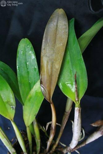 Triệu chứng của bệnh thối hạch trên cây lan