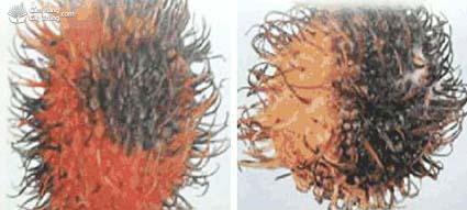 Bệnh thối nhũn trên chôm chôm
