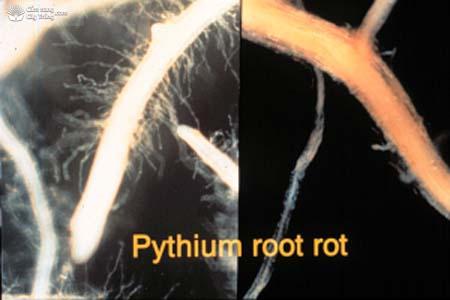 bệnh thối rễ do nấm Pythium complectens