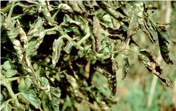 Bệnh xoăn lá trên cây cà chua
