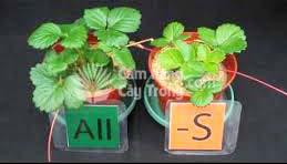 Cây trồng đủ dinh dưỡng và thiếu lưu huỳnh