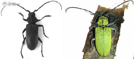 Xén tóc A: Plocaederus ruficornis gây hại trên cây Xoài và B: Celosterna pollinosa sulphure hại cây Vên vên