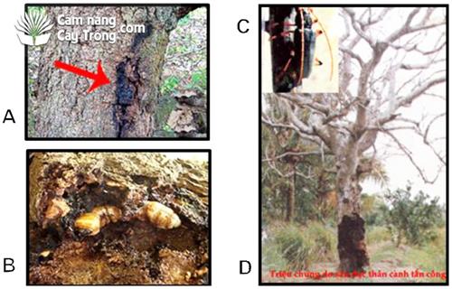 (A) Vết đục rỉ nhựa trên thân cây; (B) Ấu trùng bù xè đục thân cây; (C) Con trưởng thành; (D) Bù xè gây hại làm chết cả cây.