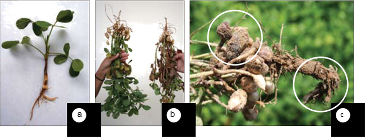 Các bệnh Pythium trên cây lạc (đậu phộng)