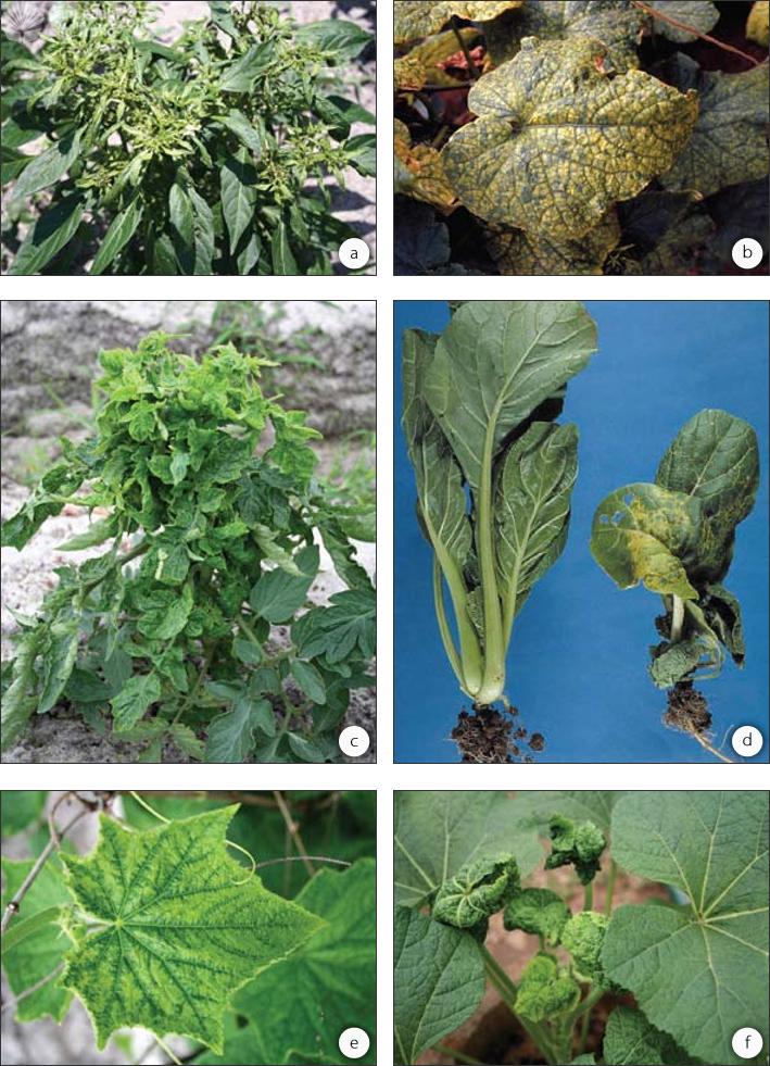 Các bệnh do vi rút: (a) vi rút héo đốm cà chua ở ớt, (b) vi rút biến vàng củ cải đường