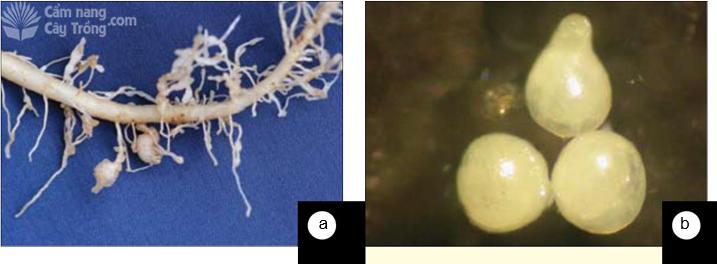 Hình 20 Các triệu chứng của tuyến trùng nốt sưng: (a) triệu chứng sưng rễ, (b) tuyến trùng cái ký sinh trong các nốt sưng