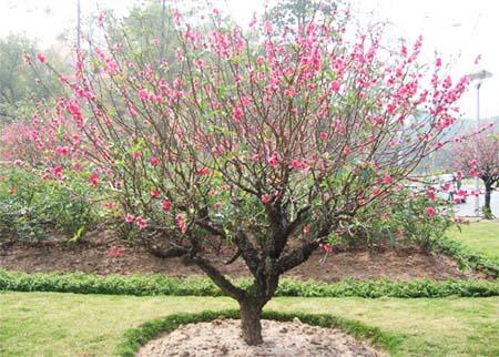 Đào trồng lại, đào trồng từ chậu ra vườn được chăm bón và xới gốc cẩn thận