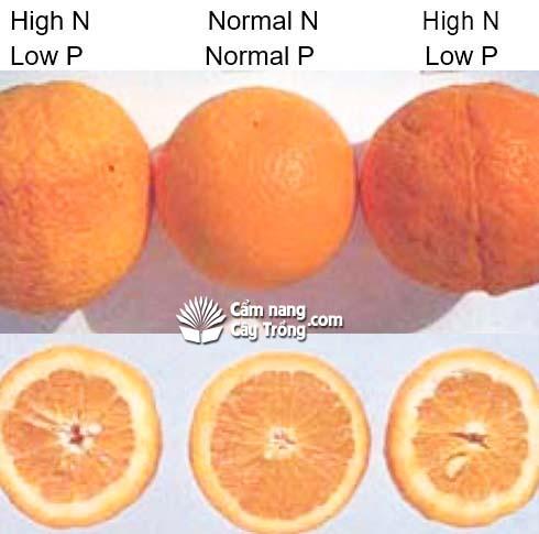 Nhiều đạm, ít lân quả sẽ có hiện tượng: Dị dạng (không tròn quả), vỏ dày, thô xốp, hỗng giữa quả, quả ít nước