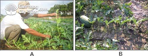 (A) Cắt chồi, (B) Để trái và cắt đọt để tập trung dinh dưỡng.