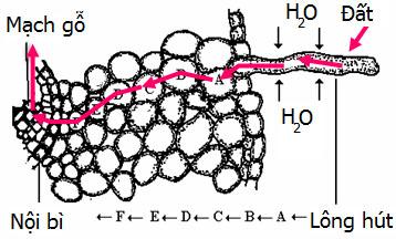 Hình ảnh mô tả quá trình hấp thụ nước (hút nước) ở rễ cây