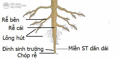 Cấu tạo của rễ cây