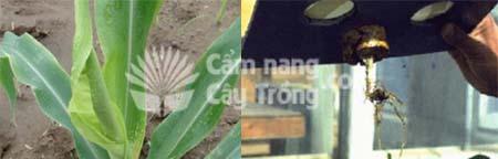 Cây ngô thiếu Canxi và rễ cây thiếu canxi