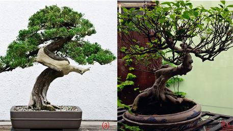 Cây bonsai - Cây kiểng cổ