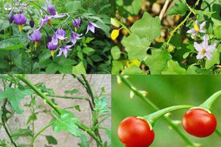 Solanum procumbens