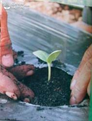 Cây con được trồng ra ruộng.