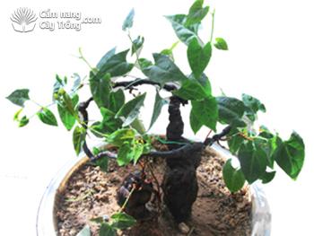 Cây hà thủ ô đỏ trồng trong chậu cảnh