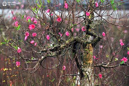 Một cây đào đẹp nở hoa vào đúng dịp Tết Nguyên Đán