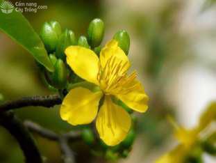 Hoa mai vàng 5 cánh