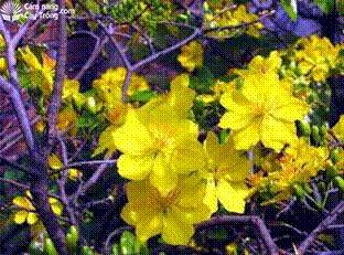 Hoa mai châu