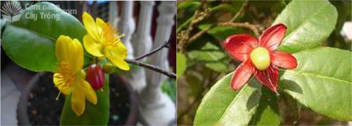Hoa và trái mai tứ quý