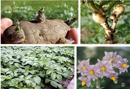 hình thái cây, củ khoai tây
