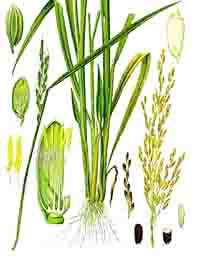 Mô tả cây lúa, hình thái sinh học cây lúa