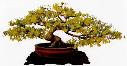 Cây mai vàng Bonsai cao 50 cm