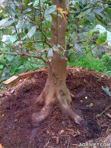 Rễ cây mai vàng lâu năm