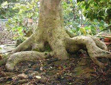 Bộ rễ cây mai vàng lâu năm 02