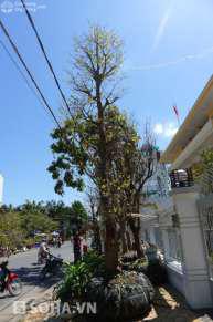 Thân cây mai vàng cổ thụ cao gần 10 m