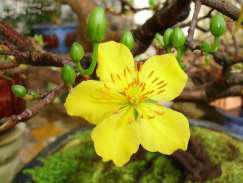 Hoa mai vàng nở