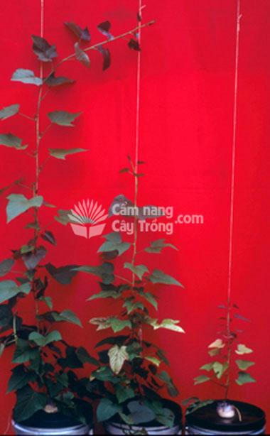 Cây trồng sinh trưởng chậm và úa lá trong dung dịch đồng 8 mM, 12 mM