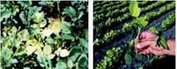 Triệu chứng thiếu sắt trên cây khoai tây và đậu tương
