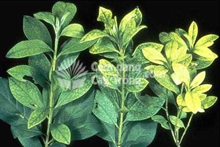 Biểu hiện thiếu sắt của cây trồng thể hiện qua lá