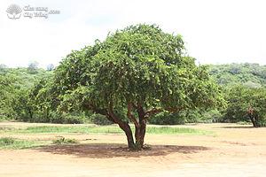 Cây cần thăng mọc tự nhiên ở Sri Lanka