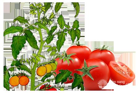 Cây cà chua, đặc điểm sinh thái cây cà chua, tomato